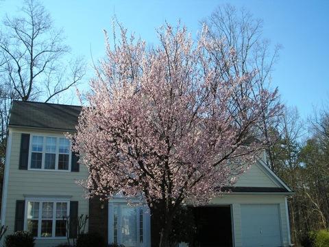 albero-di-susine-in-fiore.jpg
